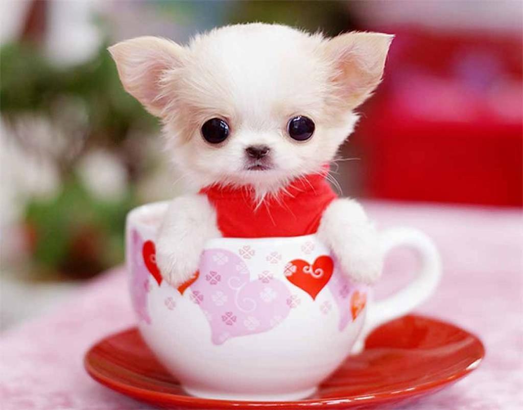 Cute-Teacup-Puppy.jpg